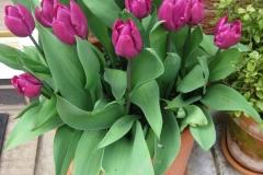 Eva's lovely tulips